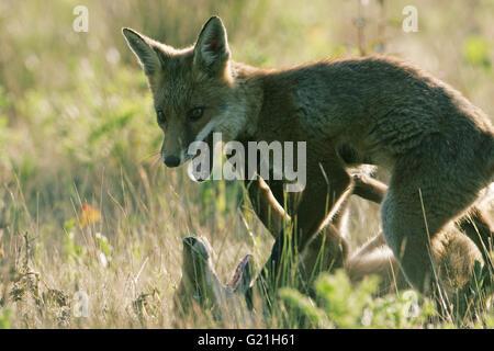 Le renard roux Vulpes vulpes oursons qui se battent pour la nourriture Banque D'Images