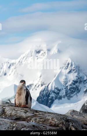 Gentoo pingouin chick debout sur l'Île Petermann rock, l'Antarctique