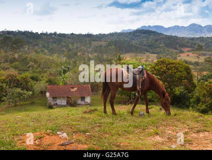 Cheval de pâturage dans la région de Viñales, Pinar del Rio, Cuba Banque D'Images