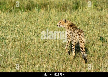Sauvages adultes solitaires, Guépard Acinonyx jubatus, Marche à Pied, à la recherche de proies, Masai Mara National Banque D'Images