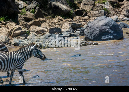 Crocodile, Crocodylus niloticus, entrer dans la rivière Mara en même temps qu'un zèbre, Equus quagga burchellii, Banque D'Images