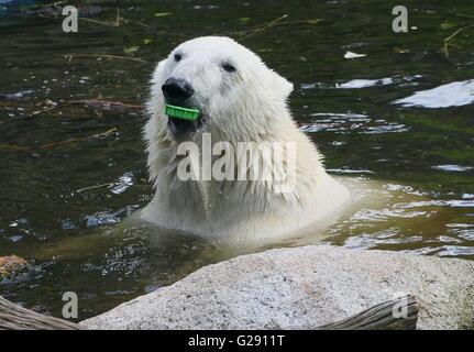 Nettoyage de l'environnement - Surfacing femme ours polaire (Ursus maritimus) libre de la tête, la bouteille en Banque D'Images