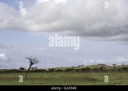 Lone Tree, saswad, Maharashtra, Inde Banque D'Images