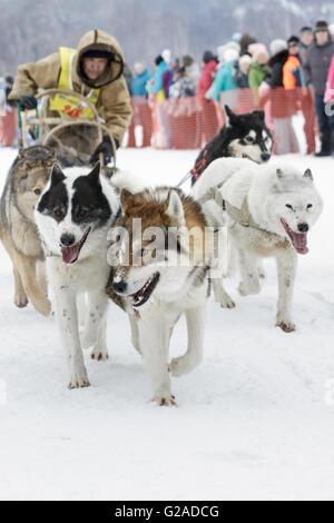 L'exécution de l'équipe de chien de traîneau musher Kamchatka Chuprin Valery. Course de chiens de traîneau extrême Banque D'Images