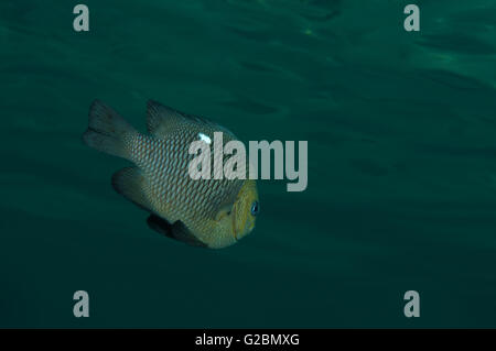 Threespot dascyllus, poissons demoiselles, Domino, Blanc de demoiselle-spot extracteur, Whitespotted fumisterie Banque D'Images
