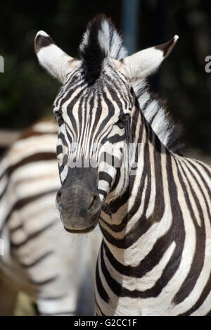 Portrait de le zèbre de Burchell (Equus quagga burchellii) Banque D'Images