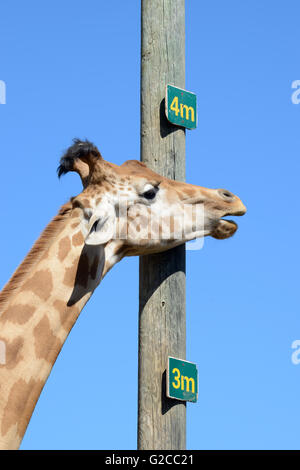Cou et mesure la hauteur d'un poteau indiquant giraffe réticulée ou Somali Girafe (Giraffa camelopardalis reticulata) Banque D'Images