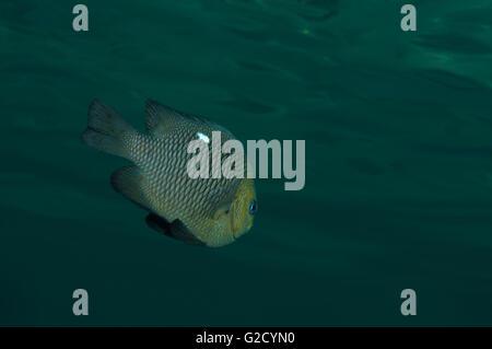 29 janvier 2010 - Red Sea, Egypt - Threespot dascyllus, poissons demoiselles, Domino, Blanc de demoiselle-spot extracteur, Banque D'Images