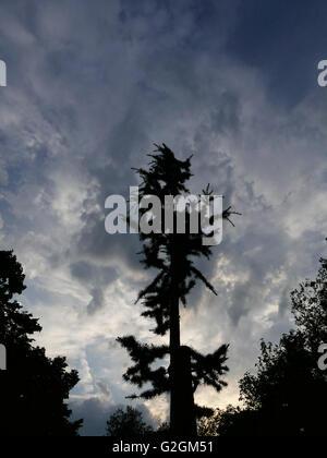 Un cèdre Atlas Blue sur Christchurch Green, Wanstead contre un ciel coucher de couvaison. Banque D'Images
