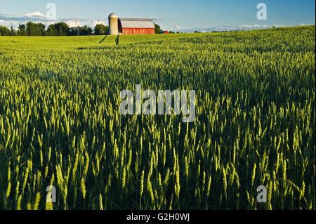 Champ de blé et grange rouge Carleton Place (Ontario) Canada Banque D'Images