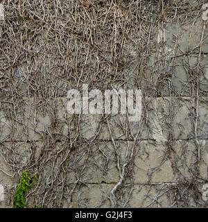 Vignes sur le mur, d'Arancou, Basque, France Banque D'Images