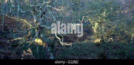 Lumière du matin tombe sur chênes centenaires dans l'ancienne forêt de chênes d'une ancienne forêt de chasse royale médiévale