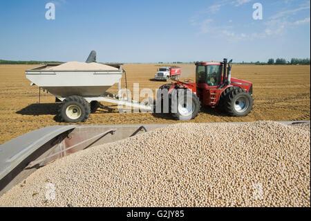 Le pois jaune en arrière d'un camion agricole pendant la récolte de chariot tracteur grain en arrière-plan, près Banque D'Images