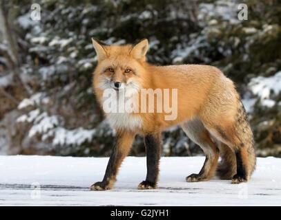 Le renard roux (Vulpes vulpes),, est la plus grande de la véritable les renards et les plus abondants de la sauvage Banque D'Images