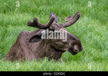 L'orignal (Alces alces) bull avec bois couverts en velours de mentir dans les prairies au printemps
