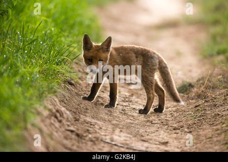 Les jeunes red fox (Vulpes vulpes) en chemin, jeune chiot, Animal, Bade-Wurtemberg, Allemagne Banque D'Images
