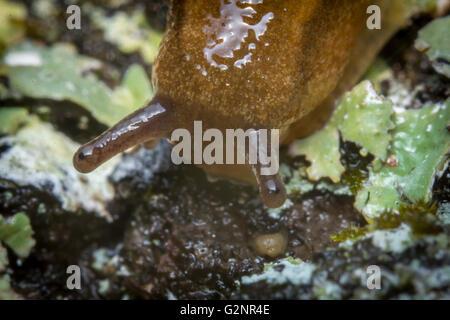 Jardin commun slug ondule le long de l'écorce moussue dans extreme close up macro photo Banque D'Images