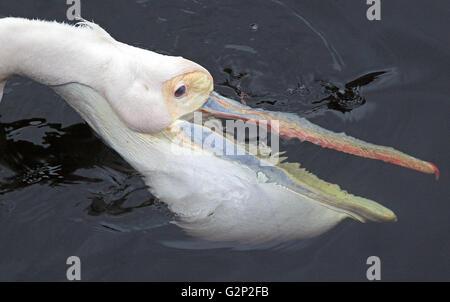 La chasse Grand Pélican blanc Pelecanus onocrotalus aussi connu sous le nom de Eastern White Pelican pelican pelican Banque D'Images
