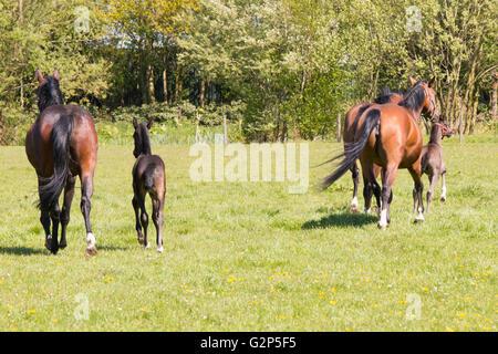 Trois chevaux et deux poulains s'enfuyant dans grass land