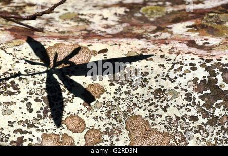 L'ombre des feuilles sur un rocher couvert de lichens colorés Banque D'Images