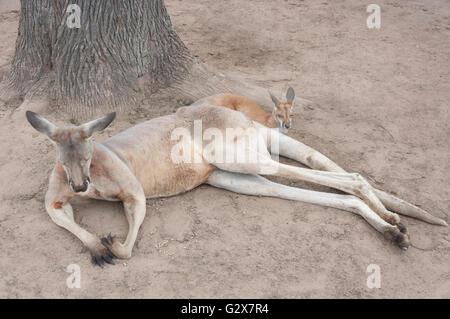 L'Ouest femelle kangourou gris avec Joey à Lone Pine Koala Sanctuary, Fig Tree Pocket, Brisbane, Queensland, Australie Banque D'Images