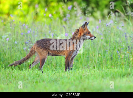 Red Fox dans un champ Banque D'Images