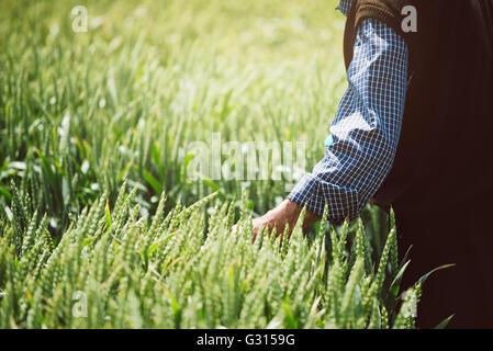 Agriculteur âgé l'examen de la culture du blé dans le champ, la protection des cultures et la production agricole Banque D'Images