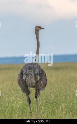L'Autruche femelle, debout dans l'herbe haute à la recherche de l'appareil photo, Masai Mara, Kenya, Afrique Banque D'Images