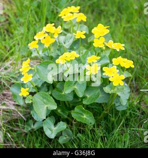 Le populage des marais, Caltha palustris plante et fleurs jaunes sur les îles féroé