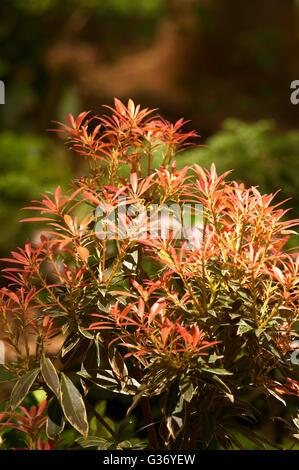 Pieris japonica 'Flaming Silver', le muguet arbuste, andromède, JAPANESE PIERIS Banque D'Images