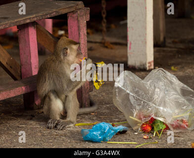Singe La faune de manger de la nourriture de son sac en plastique fermé aux ordures, Brunei Banque D'Images