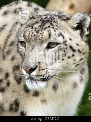 SNOW LEOPARD portrait close -up. Panthera uncia beau disparition snow leopard Banque D'Images