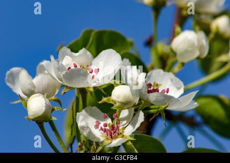 La floraison des arbres fruitiers dans le jardin de printemps sur fond de ciel Banque D'Images