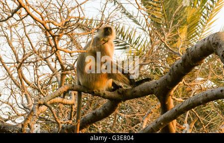 Langur commun ou Singe Hanuman (Semnopithecus animaux singe) sittingi dans un arbre ,le parc national de Ranthambore, Banque D'Images