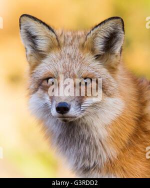 Beau mâle red fox sauvages en automne