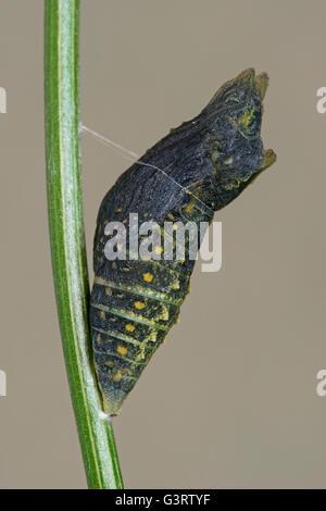 La fin du stade nymphal de E black swallowtail Butterfly (Papilio polyxenes) est de l'Amérique du Nord