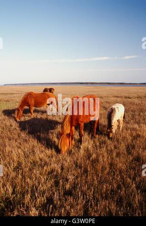 Chevaux sauvages (connu sous le nom de 'poneys') dans Chincoteague National Wildlife Refuge, Assateague Island, Banque D'Images