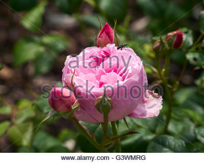 Rose rose Gertrude Jekyll Banque D'Images