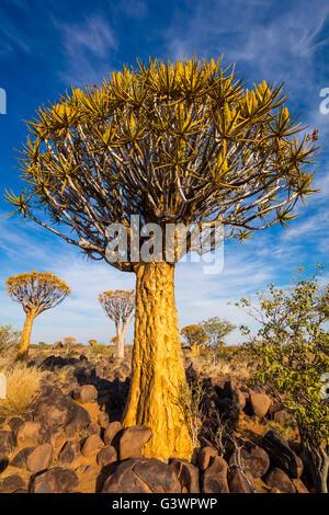 La forêt Quiver Tree (Kokerboom Woud en Afrikaans) est une forêt et une attraction touristique du sud de la Namibie. Banque D'Images