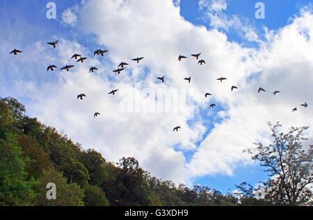 Les pigeons volent dans le ciel bleu Banque D'Images