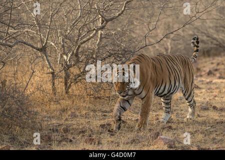 Tigre du Bengale (Panthera tigris tigris), le parc national de Ranthambore, en Inde, en Asie Banque D'Images