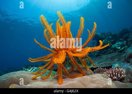 Dans les récifs coralliens des crinoïdes, Comanthina schlegeli, Ambon, Moluques, Indonésie Banque D'Images