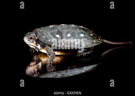 Bébé Tortue ponctuée (Clemmys guttata) [] captifs - Brownsville, Texas, États-Unis