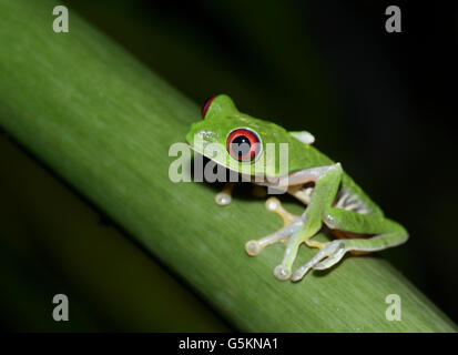 Red-eyed tree frog, agalychnis callidryas, Pacific slope variété Banque D'Images