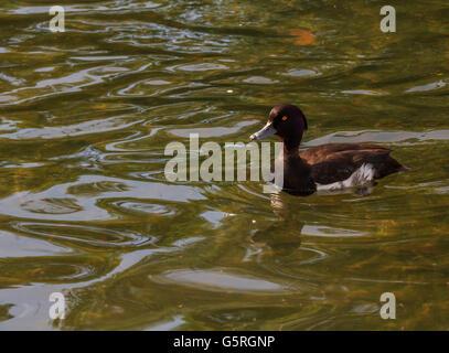 Canard milouin nageant à la Serpentine Lake Hyde Park Londres Banque D'Images