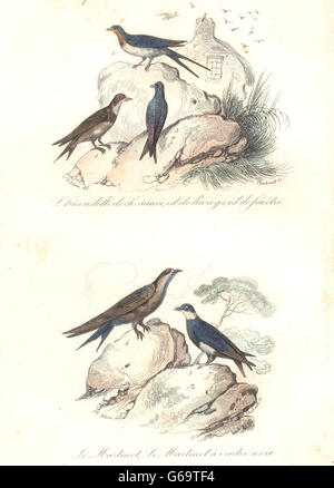 Les oiseaux: cheminée, banque, Fenêtre avaler; Swift; Martin à ventre noir. BUFFON, 1841 Banque D'Images