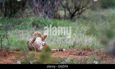 Cheetah dans Kruger National Park, Afrique du Sud; Espèce Acinonyx jubatus famille des félidés Banque D'Images