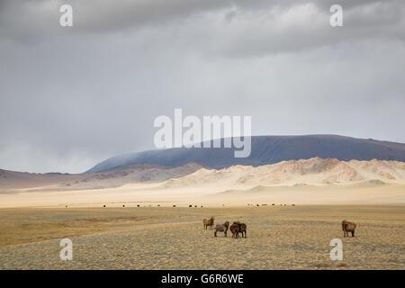 Vaches dans le paysage de l'ouest de la Mongolie Banque D'Images