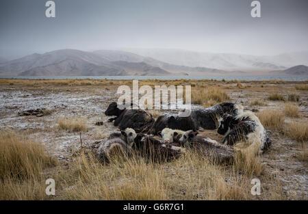 Vaches dans un paysage de l'ouest de la Mongolie au lever du soleil Banque D'Images