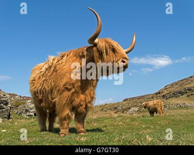 Scottish Highland cow, à l'île de Colonsay, Ecosse, Royaume-Uni. Banque D'Images